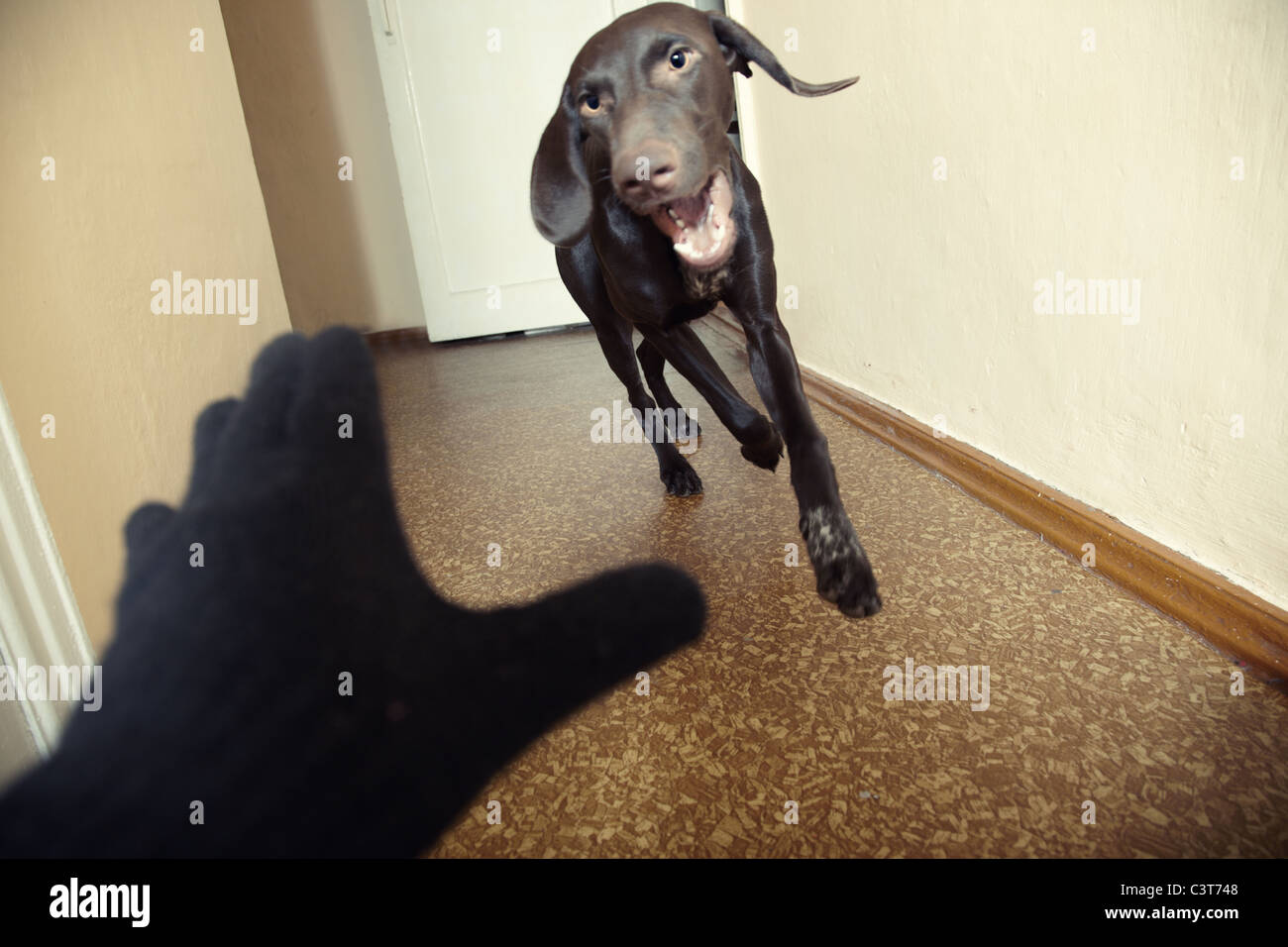 Dog attacking thief in black gloves. Natural light and colors. Motion blur added for dynamics effect - Stock Image