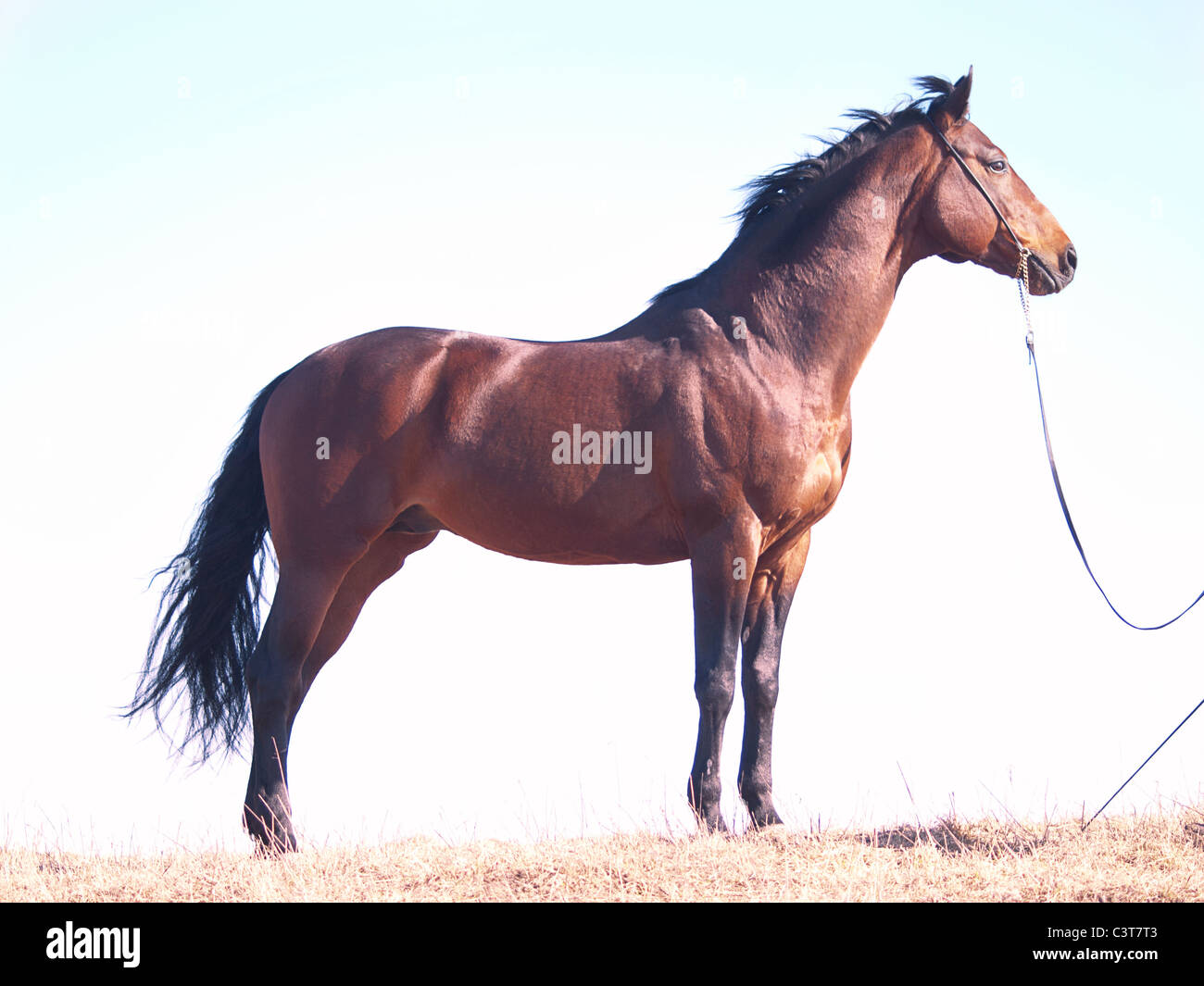 bay horse at sky background - Stock Image