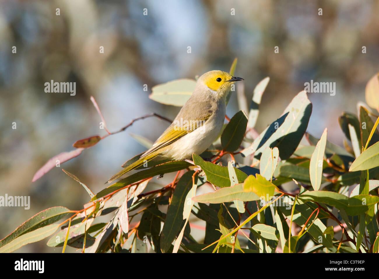 White-plumed Honeyeater, Diamantina River, Birdsville, Queensland, Australia - Stock Image