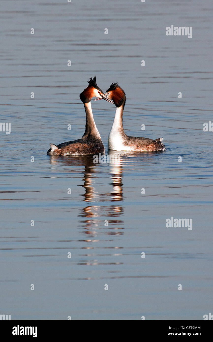 Great Crested Grebes - Podiceps cristatus Stock Photo