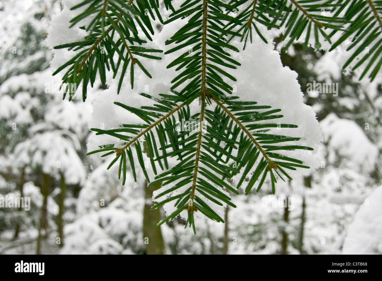 pine tree covered with frost - Stock Image