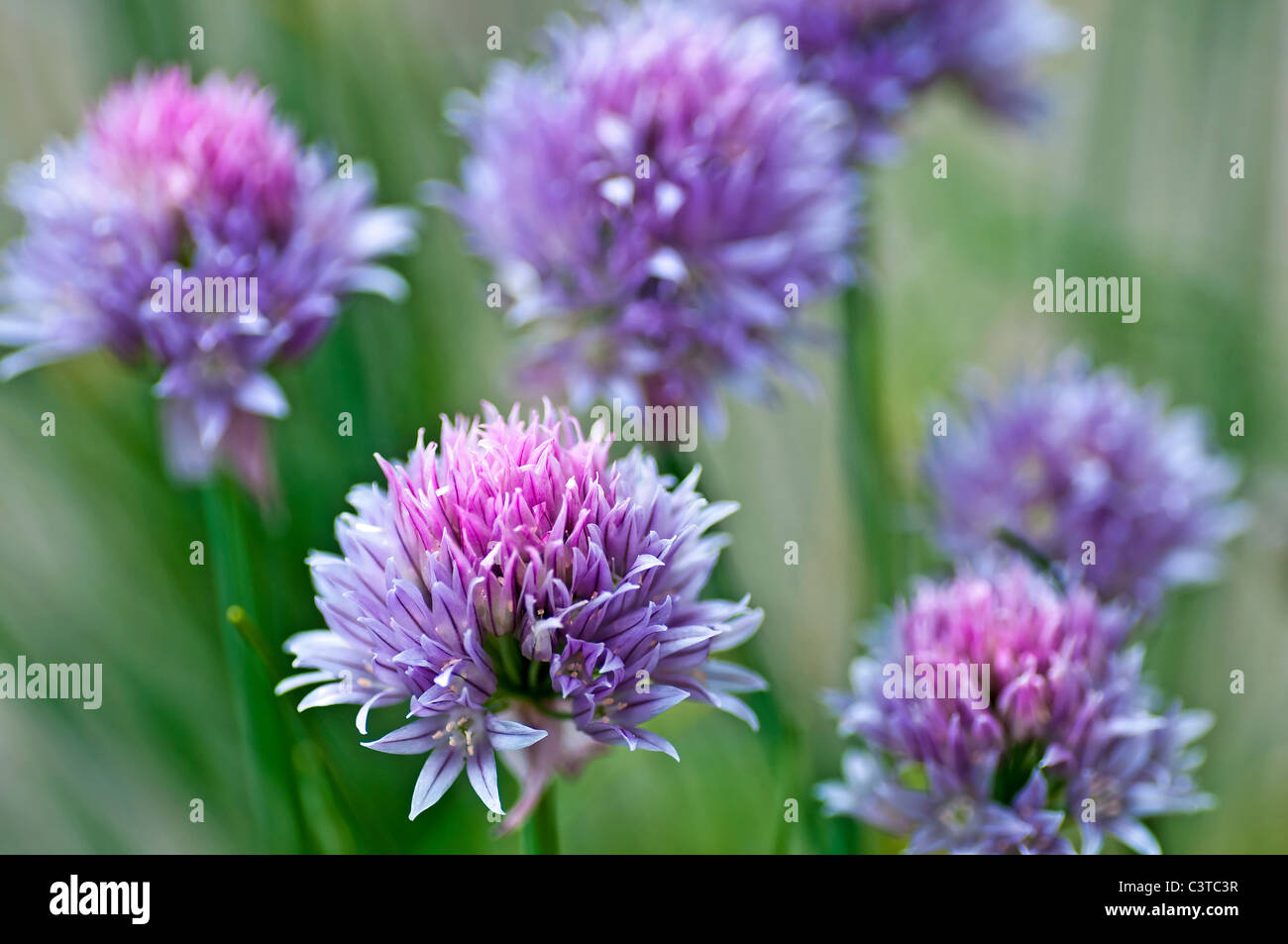 chive - Stock Image