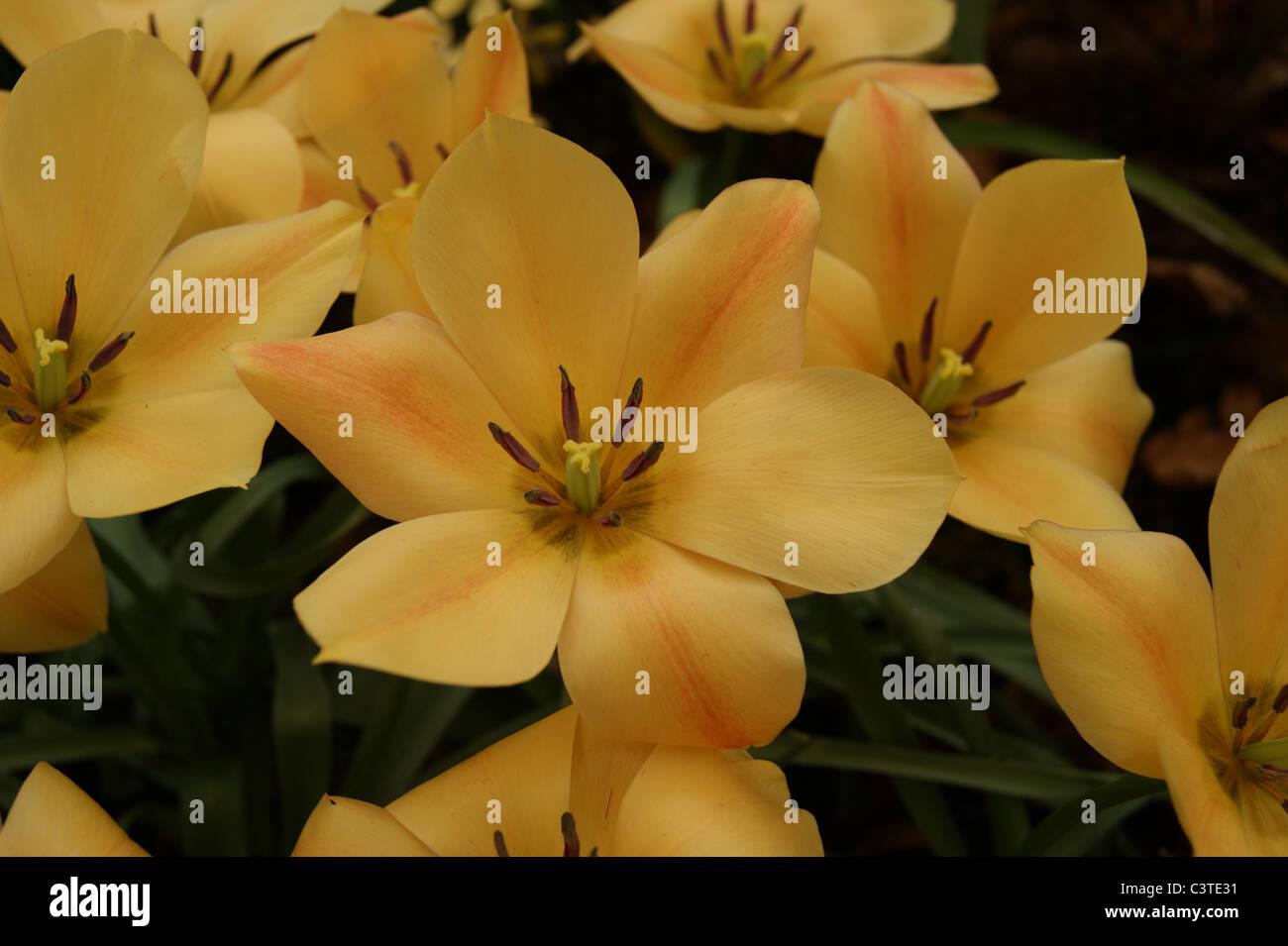Tulips - Apricot Jewel - Stock Image
