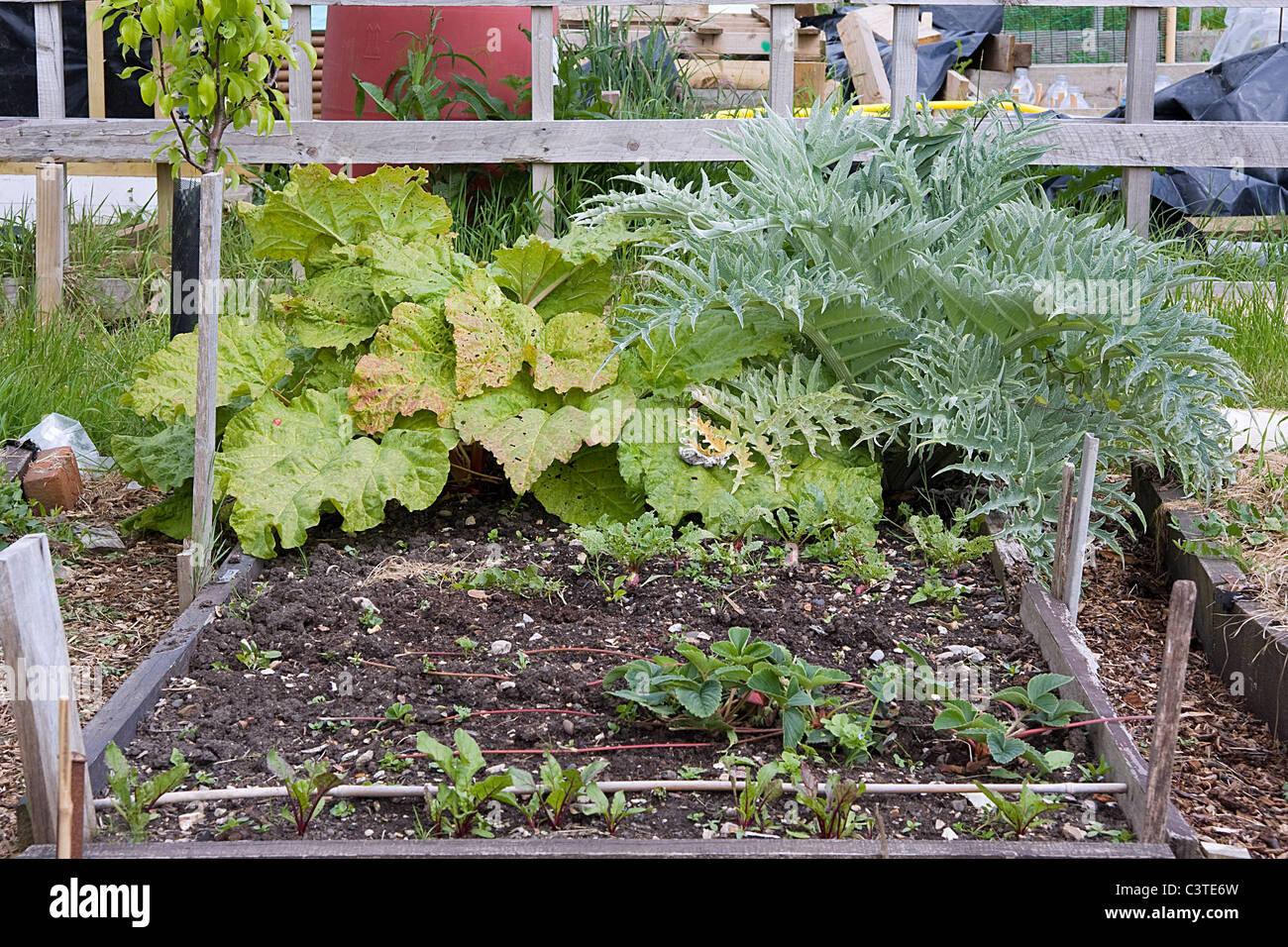 Working allotment bed with rhubarb and artichoke - Stock Image