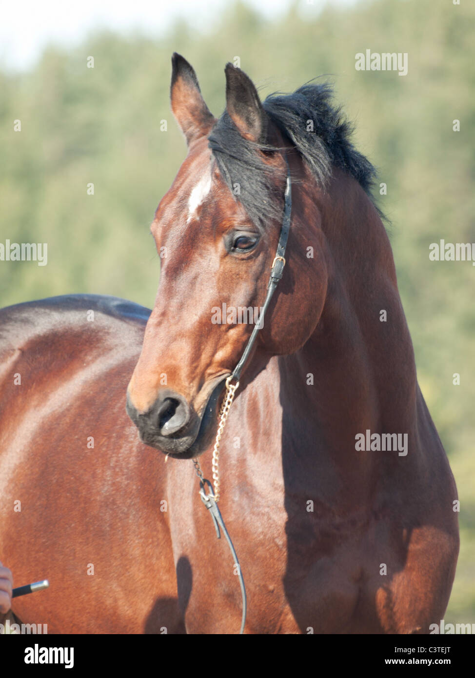 portrait of beautiful bay horse - Stock Image