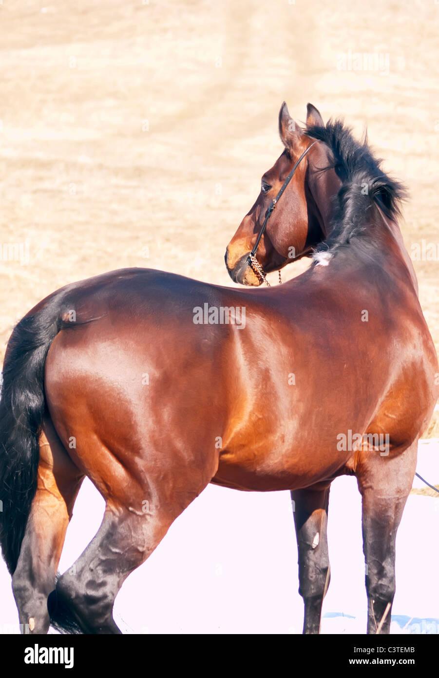 bay  horse   in spring field - Stock Image