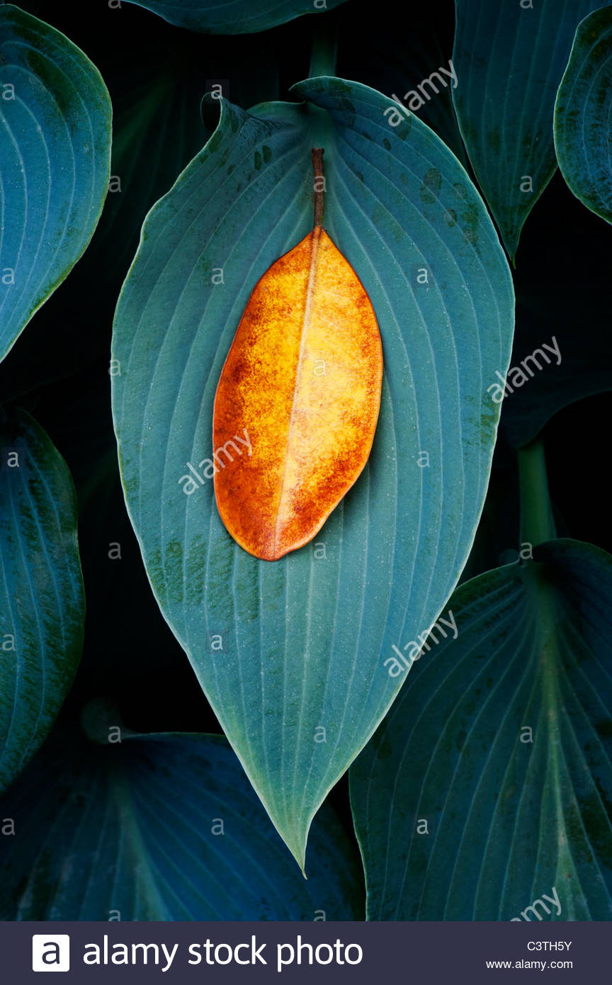 Fallen Rhododendron leaf on a Hosta Halcyon leaf - Stock Image