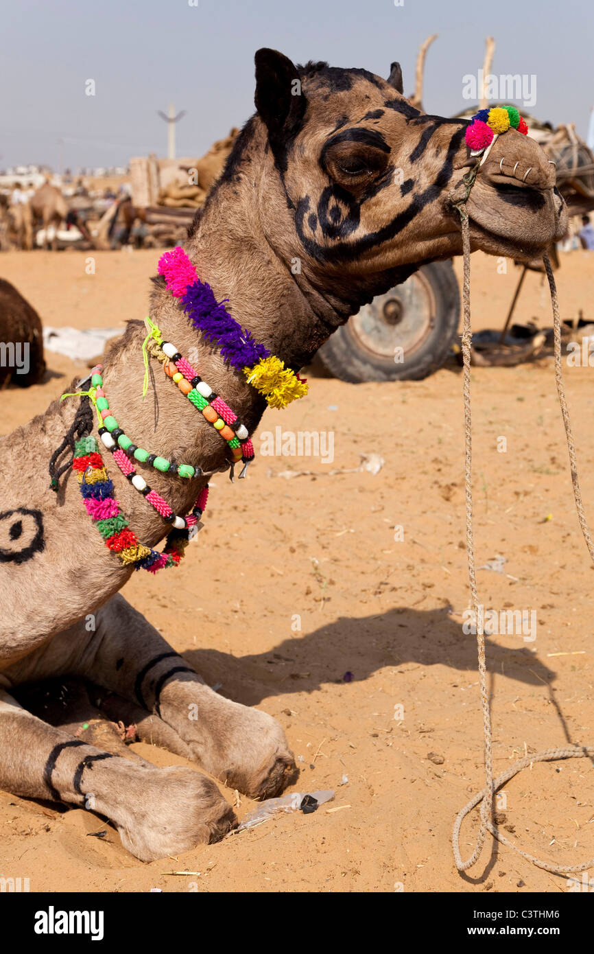 Indian people and daily life during the annual camel fair in Pushkar, Rajasthan, India, Asia - Stock Image