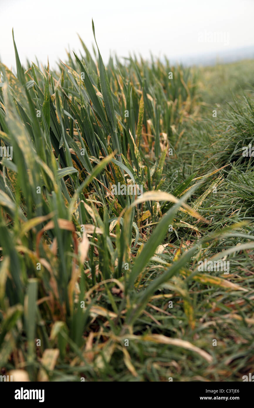 Wheat crop damaged as a result of lack of rain - Stock Image