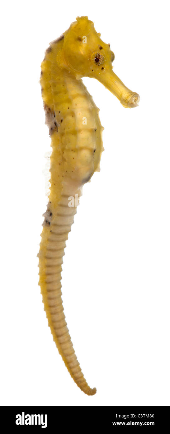 Longsnout seahorse or Slender seahorse, Hippocampus reidi yellowish, in front of white background - Stock Image