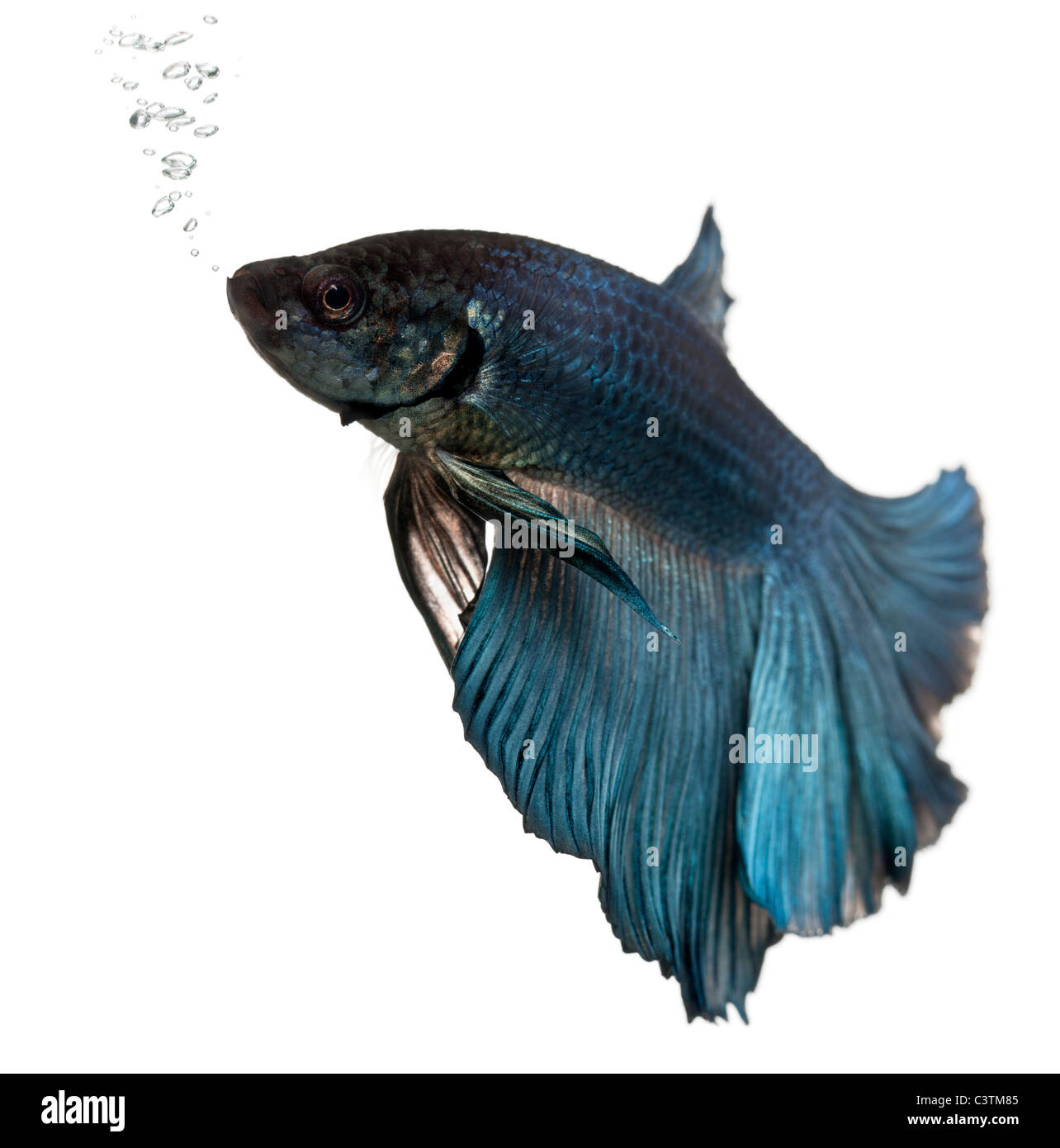 Blue Siamese fighting fish, Betta Splendens, swimming in front of white background - Stock Image