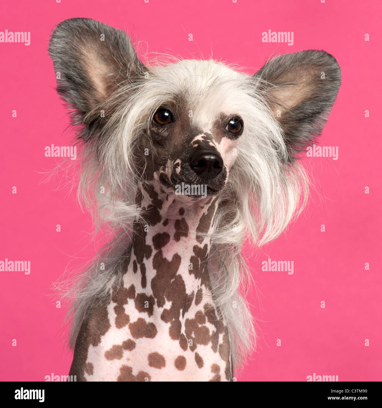 Chinese Crested Dog in front of pink background - Stock Image
