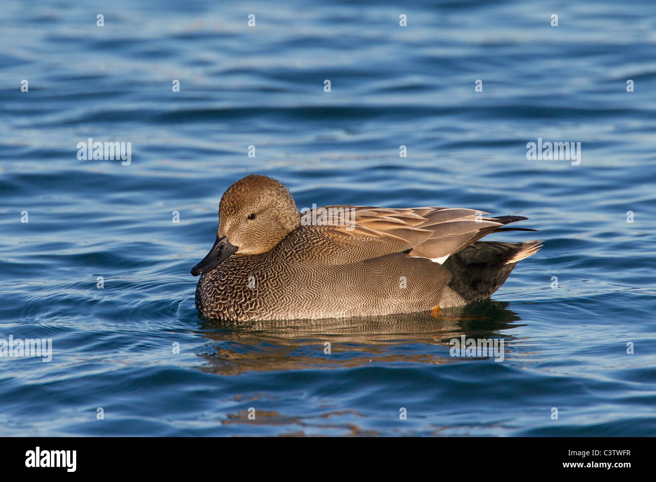 Gadwall (Anas strepera / Mareca strepera) male swimming in lake, Germany - Stock Image