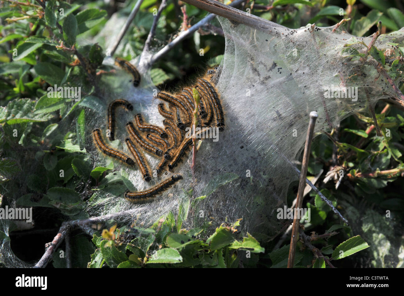 Lackey Moth caterpillars hatched and making protective web - Stock Image