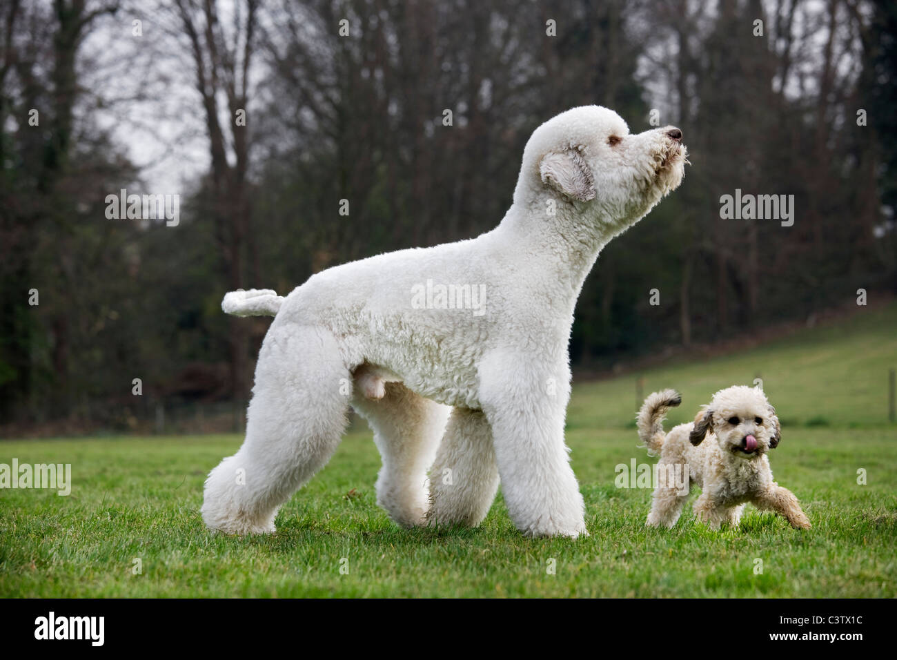 Standard poodle (Canis lupus familiaris) with pup in garden - Stock Image