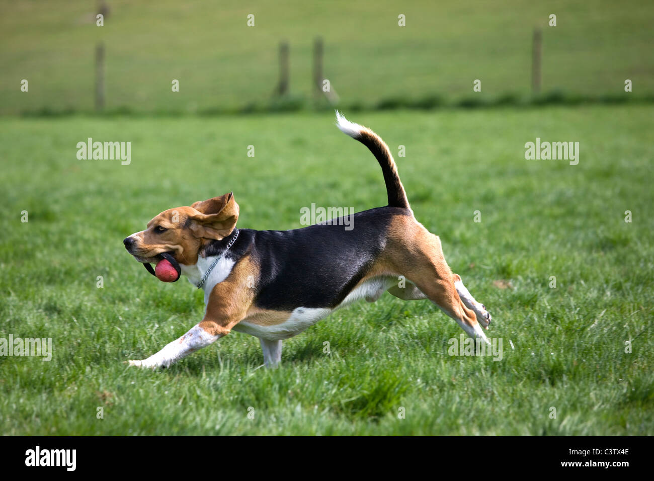 Beagle (Canis lupus familiaris) running with ball in mouth - Stock Image
