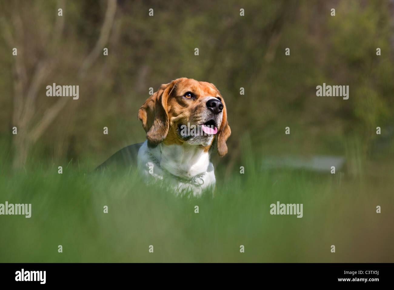 Beagle (Canis lupus familiaris) panting in garden - Stock Image