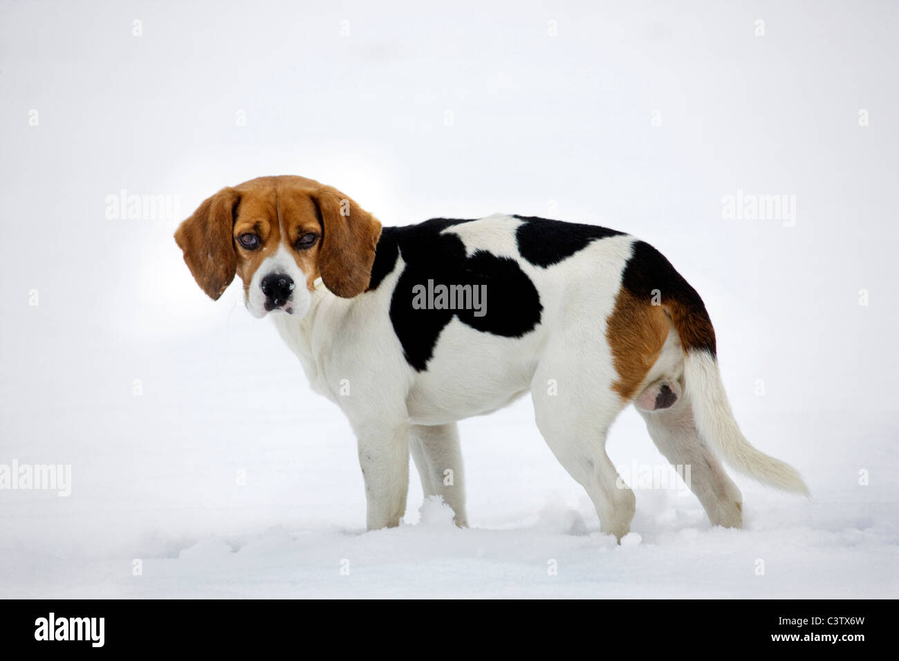 Beagle (Canis lupus familiaris) in the snow in winter - Stock Image