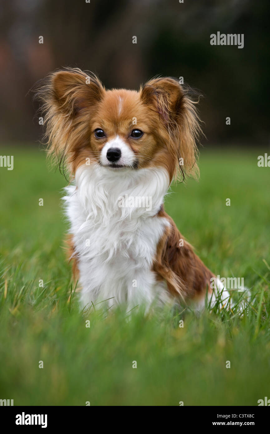 Papillon dog (Canis lupus familiaris) sitting on lawn in garden - Stock Image