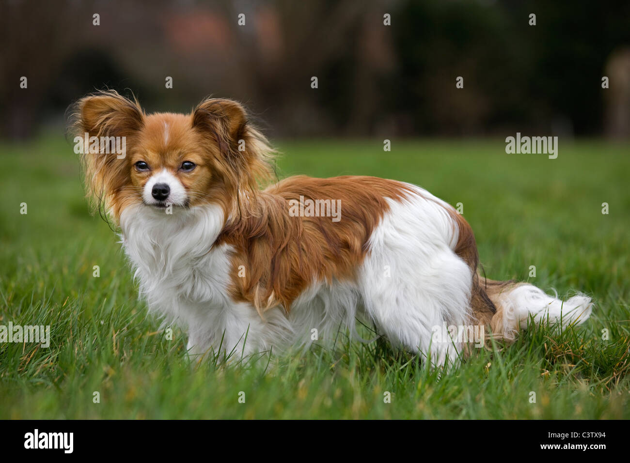 Papillon dog (Canis lupus familiaris) on lawn in garden - Stock Image