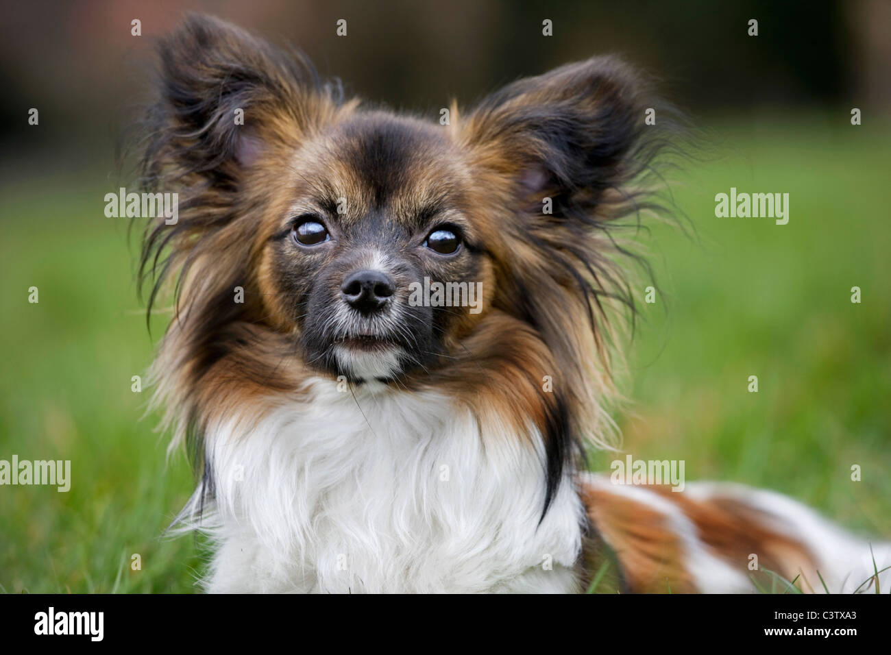 Papillon dog (Canis lupus familiaris) lying on lawn in garden - Stock Image