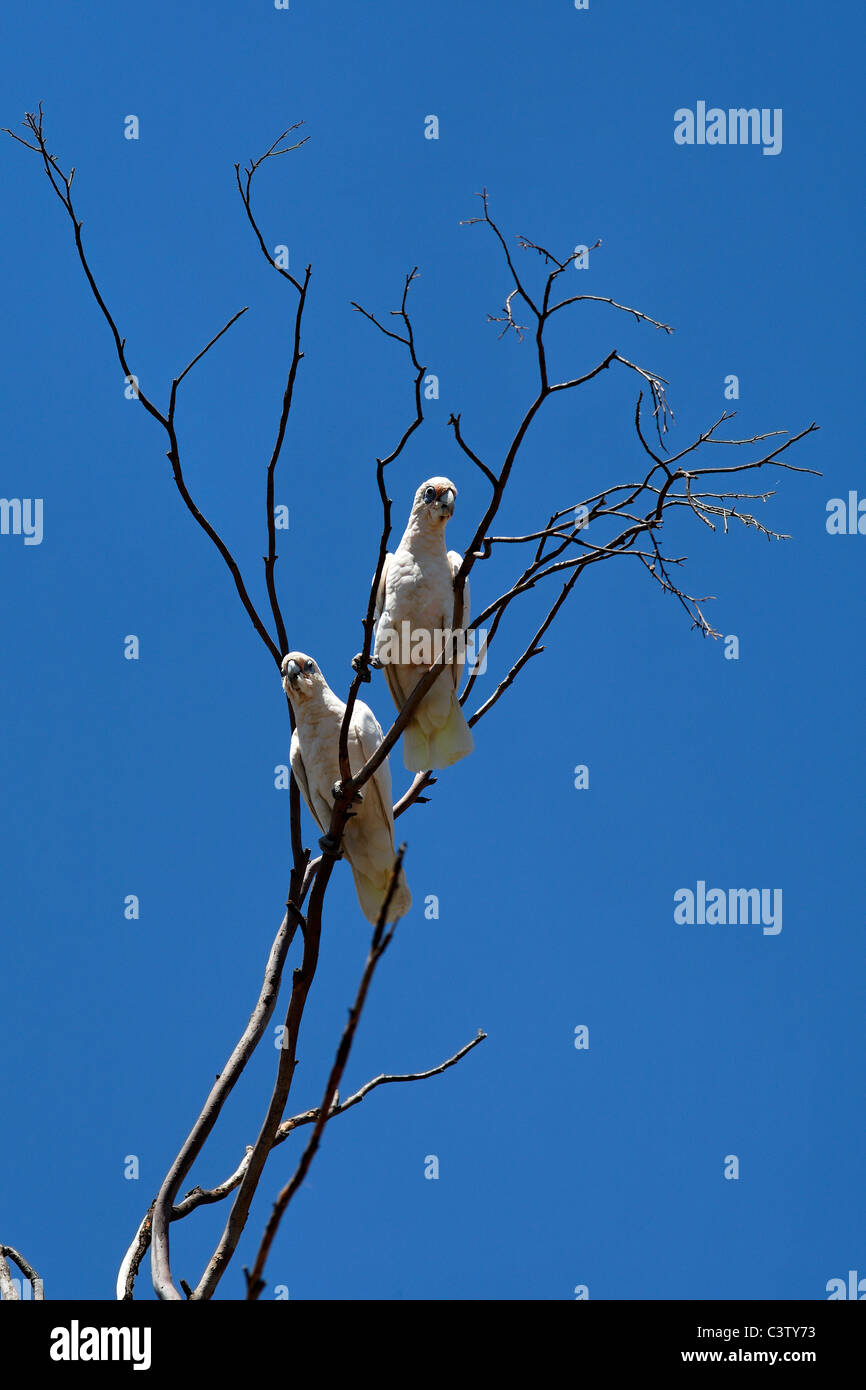 Little Corella Cockatoos ( Cacatua sanguinea ) in tree, Western Australia Stock Photo