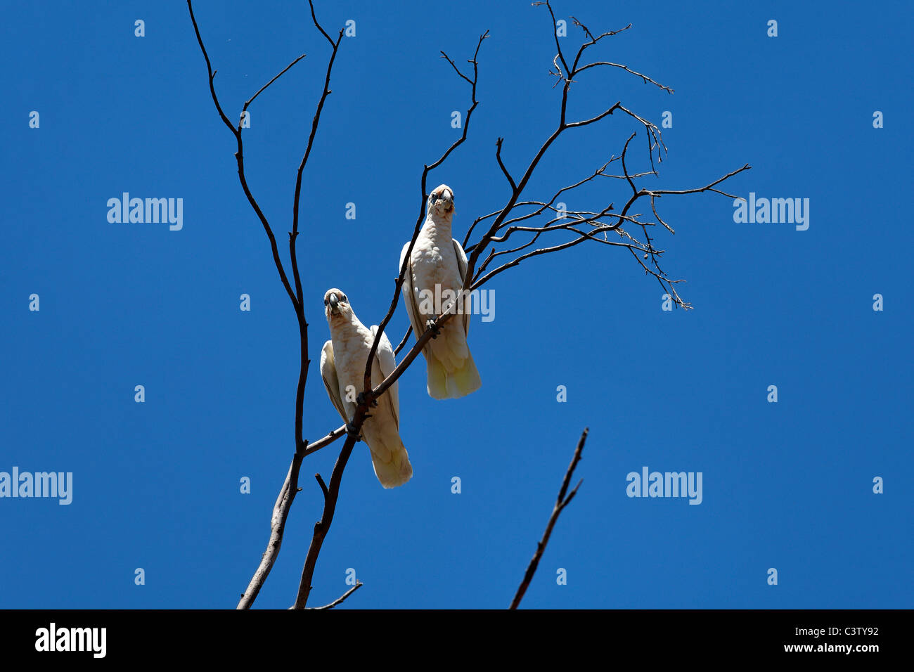 Little Corella Cockatoos ( Cacatua sanguinea ) in tree, Western Australia - Stock Image