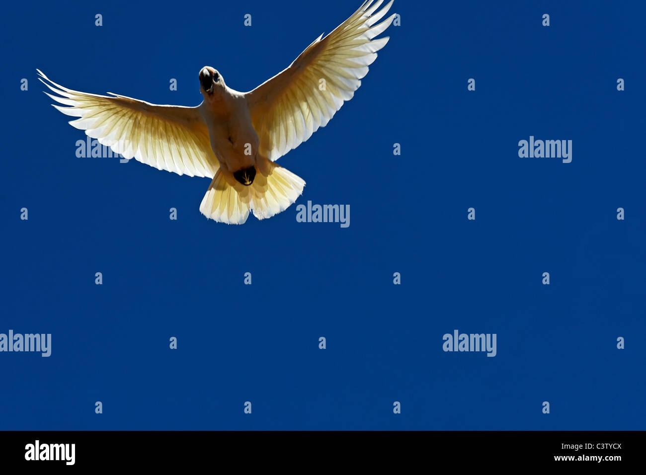 Flying Little Corella Cockatoo ( Cacatua sanguinea ) Western Australia - Stock Image