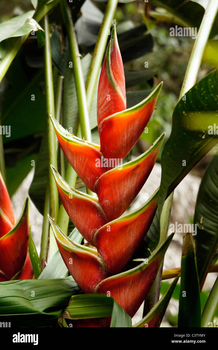 Tropical flower (Heliconia Red Wagneriana), Minca, Magdalena department, Colombia - Stock Image