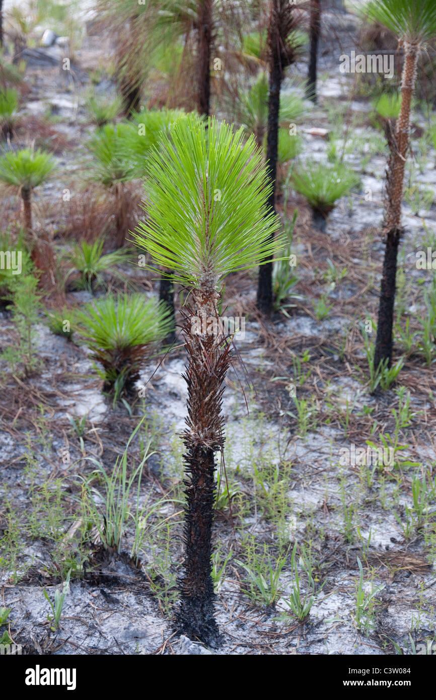 Longleaf Pine Pinus palustris Young saplings Forest Apalachicola National Forest Florida Panhandle USA - Stock Image