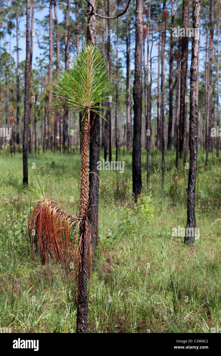 Long Leaf Pine sapling Pinus palustris & Wire Grass Forest Apalachicola National Forest Florida Panhandle USA - Stock Image
