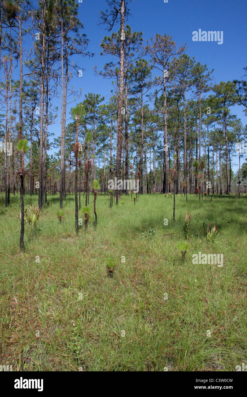 Long Leaf Pine Pinus palustris & Wire Grass Forest Apalachicola National Forest Florida Panhandle USA - Stock Image