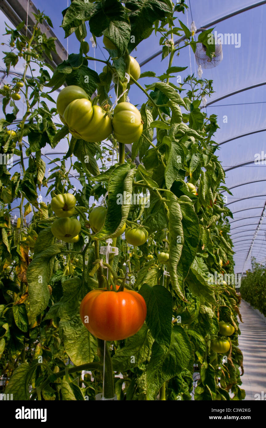 Fresh heirloom tomatoes growing in hydroponic climate controlled greenhouse, Linn's Family Farm, near Cambria, - Stock Image