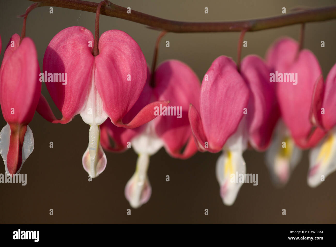Bleeding Heart Flowers - Stock Image