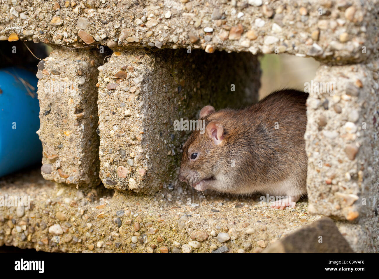 Brown Rat (Rattus norvegicus). Under cover, washing and grooming. - Stock Image