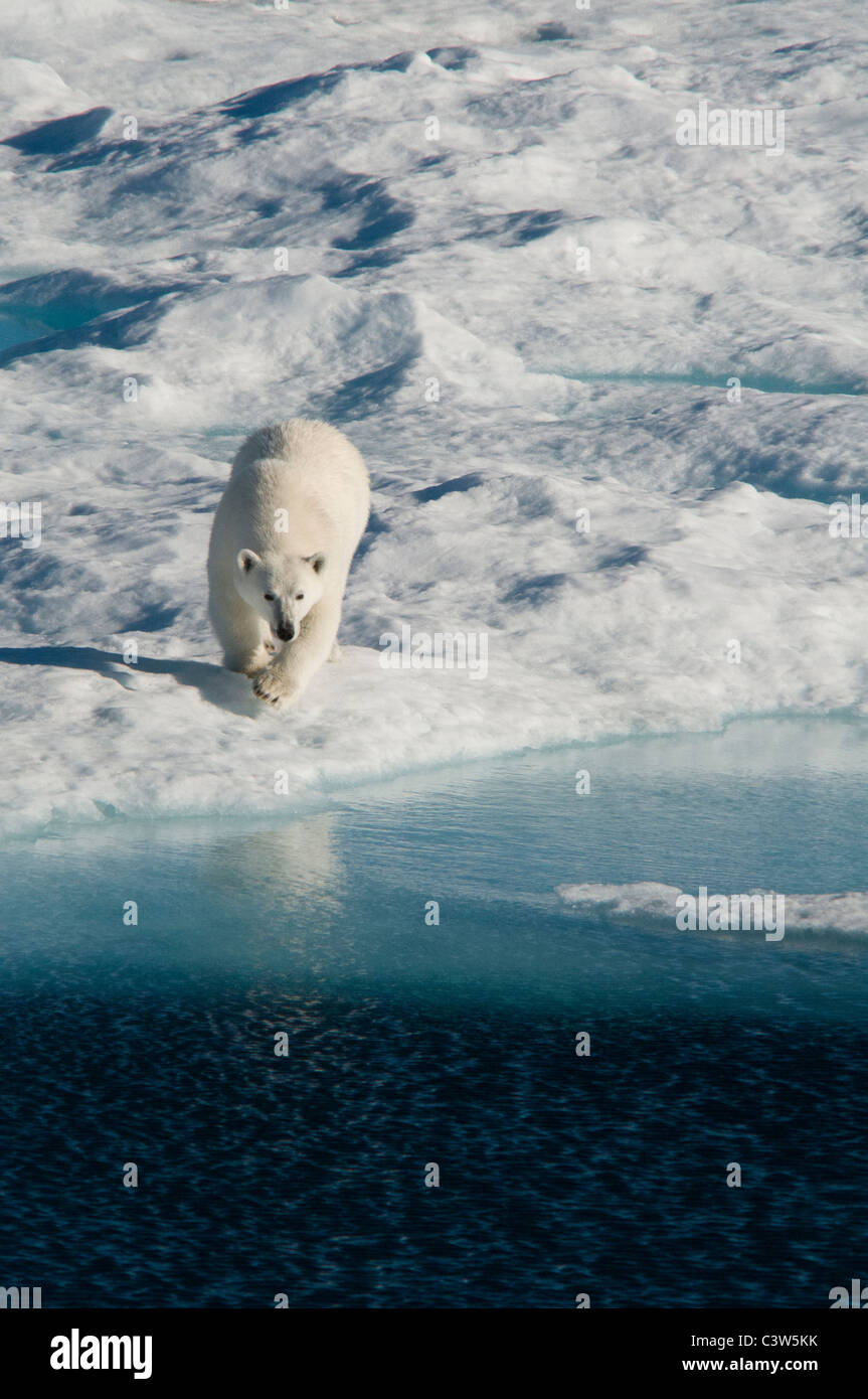 A female polar bear hunting seal on an ice floe in Nunavut, Canada. - Stock Image