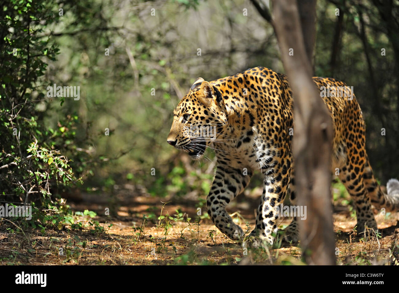 Leopard on the tracks in Ranthambhore tiger reserve - Stock Image