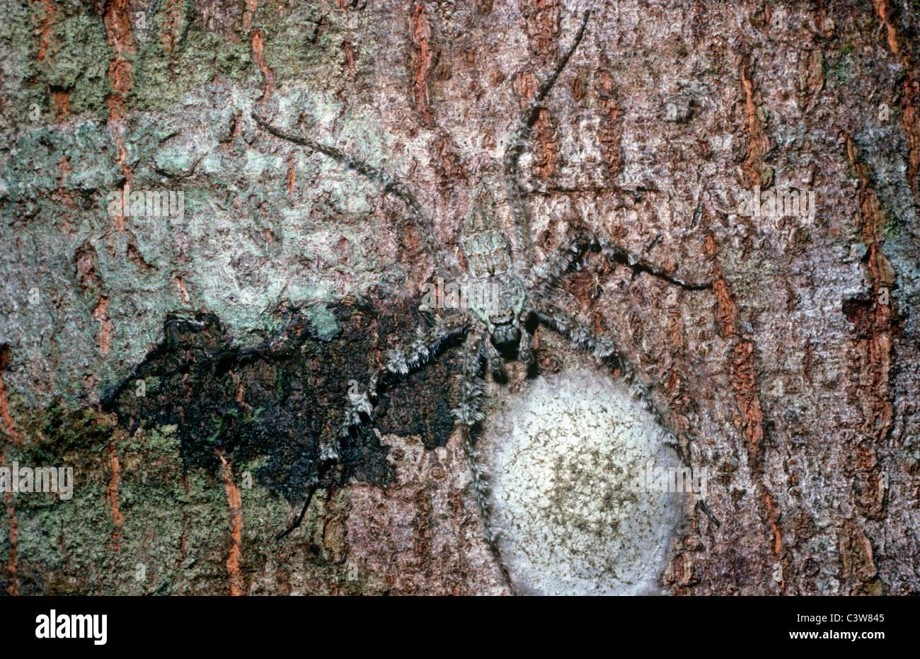 Lichen huntsman spider female (Pandercetes gracilis) camouflaged and guarding her egg-sac, rainforest, Queensland, Stock Photo