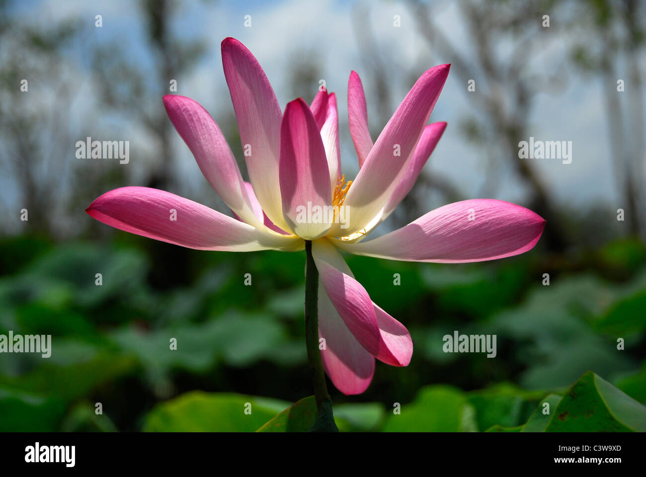 Pink Lotus In Swamp Nature Stock Photos Pink Lotus In Swamp Nature