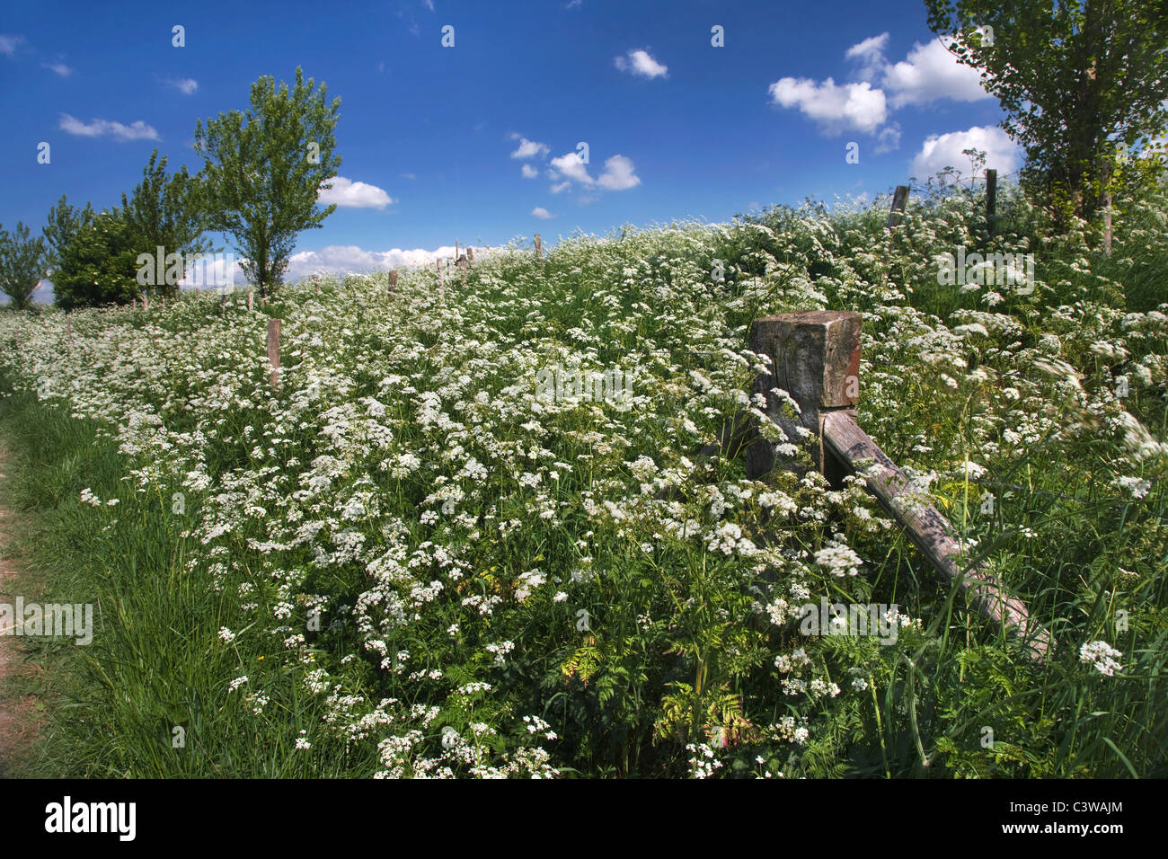 Cow parsley (Anthriscus sylvestris) growing on dyke - Stock Image