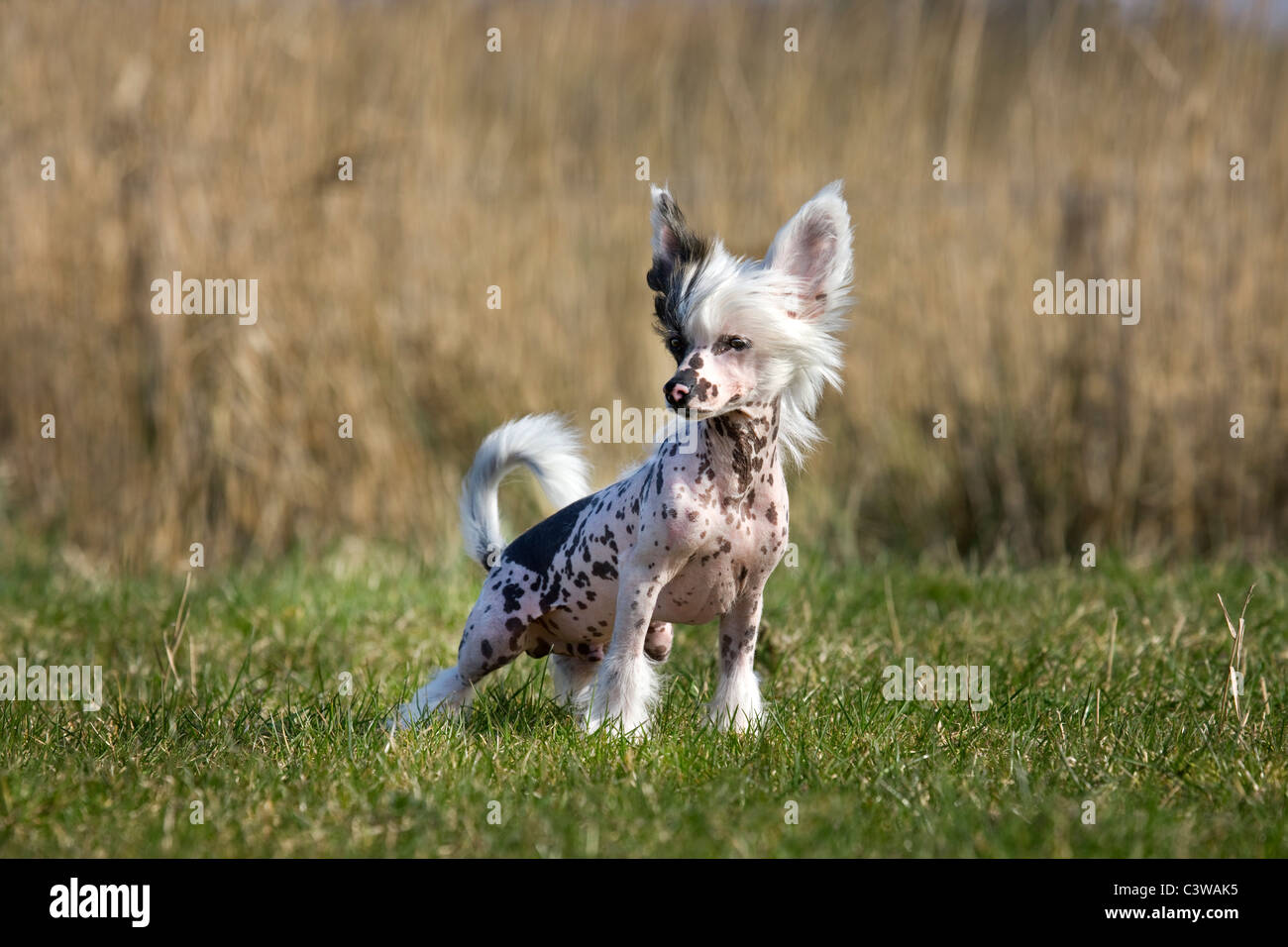 Chinese crested dog (Canis lupus familiaris) in field - Stock Image