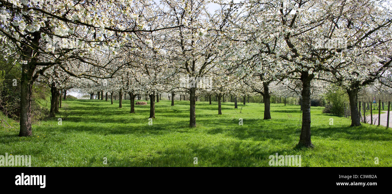 Orchard with cherry trees blossoming in spring, Hesbaye, Belgium - Stock Image