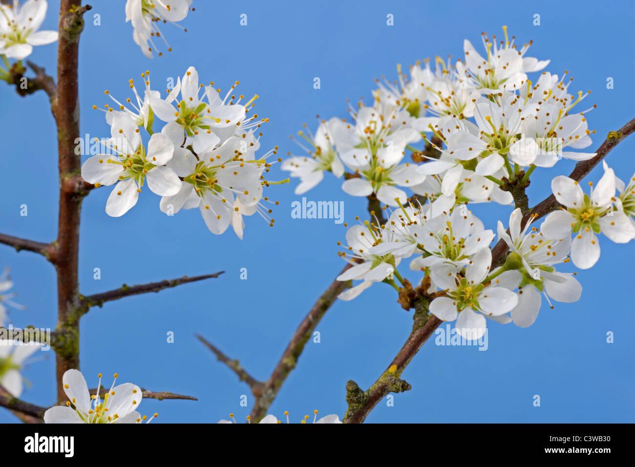 Blackthorn / Sloe (Prunus spinosa) flowering in spring, Belgium - Stock Image