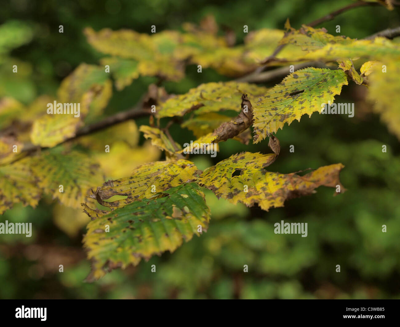 A close-up of yellow, brown and green leaves on a cloudy Autumn day, - Stock Image