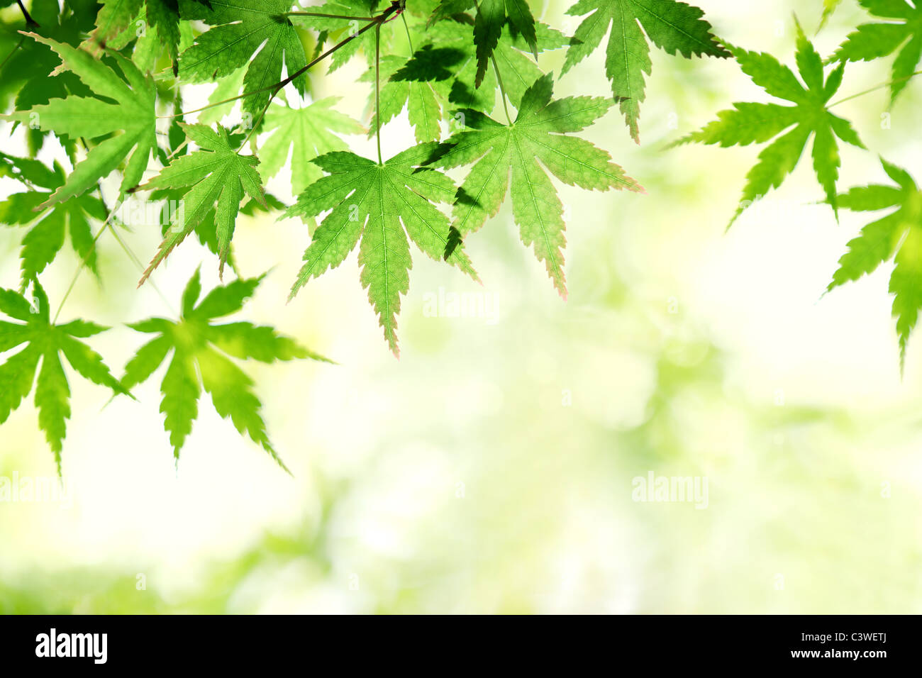 Green maple leaf in sunny day - Stock Image