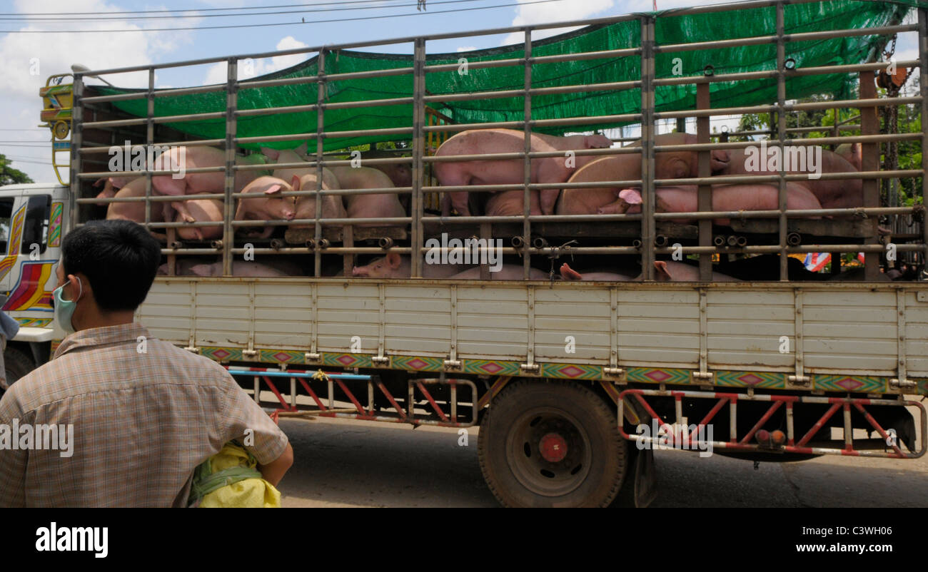 Cruelty to animals , pigs in transit at thai-cambodian border between Aranyaprathet,Thailand and Poipet ,Cambodia - Stock Image