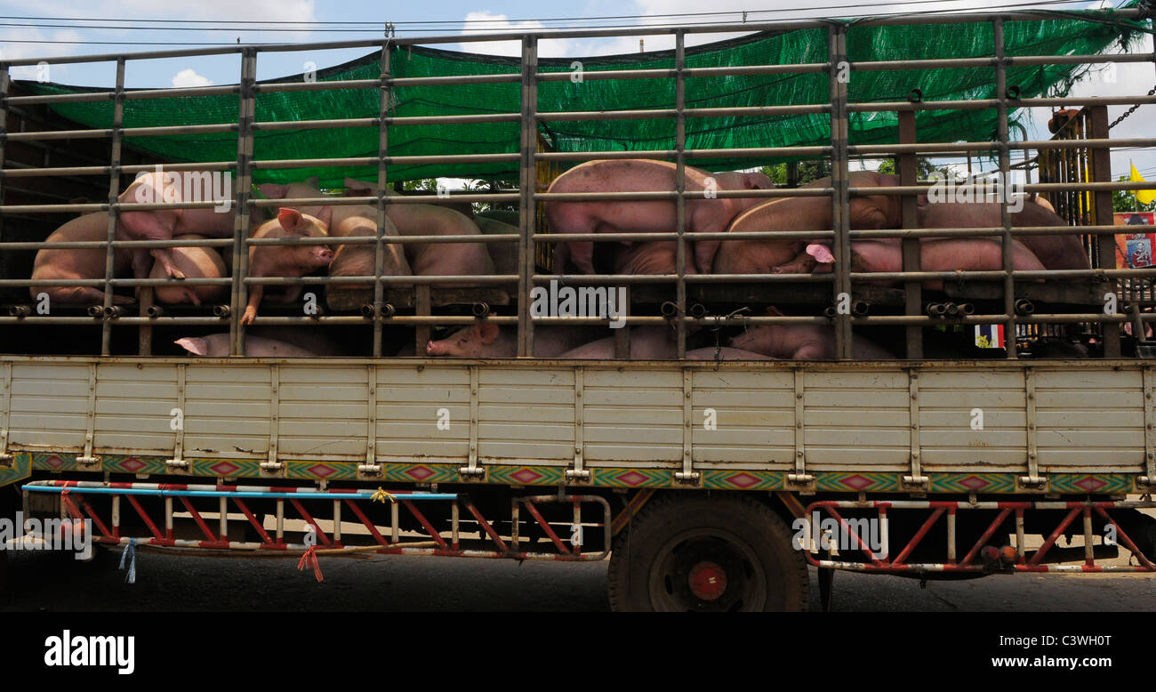 Cruelty to animals , pigs in transit at thai-cambodian border between Aranyaprathet, Thailand and Poipet , Cambodia - Stock Image