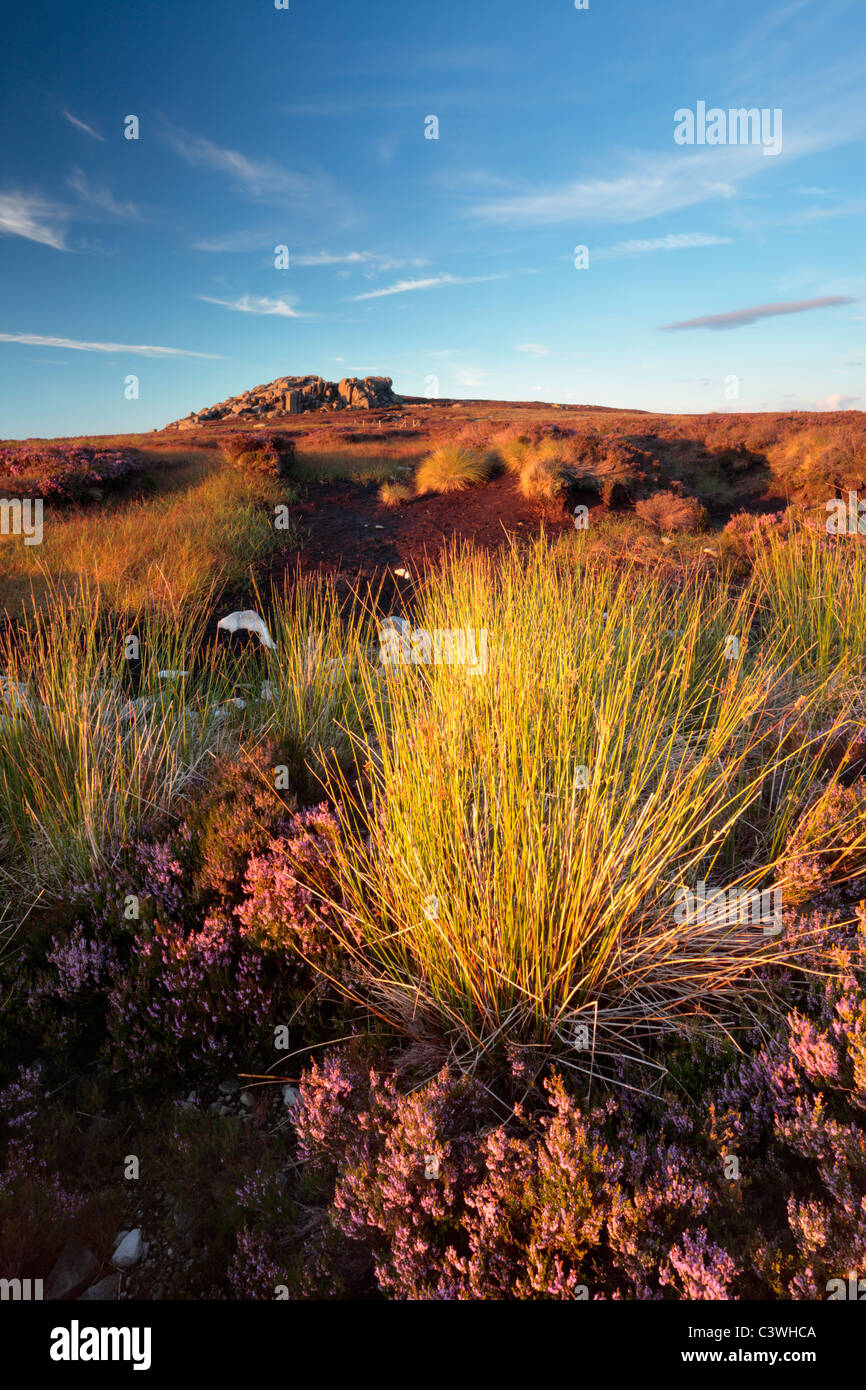 Simon's Seat stands amidst the bright purple heather moorland of Barden Fell in Yorkshire, England - Stock Image