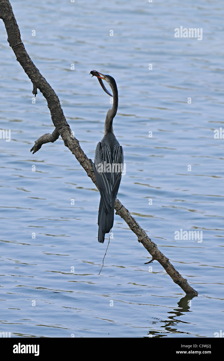 The Oriental Darter or Indian Darter (Anhinga melanogaster ) with a fish in a lake in Ranthambhore - Stock Image