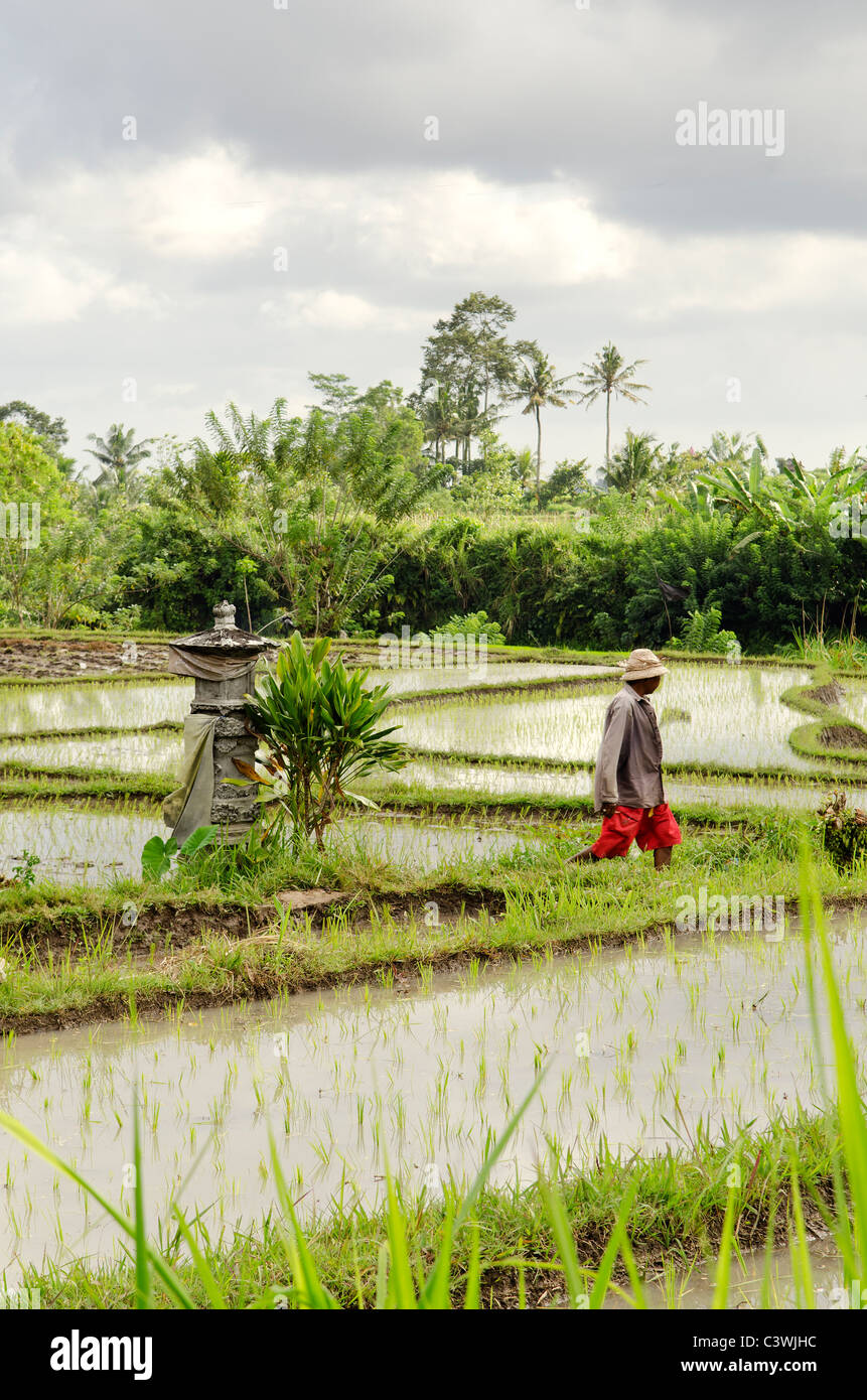 rice field with farmer in bali indonesia - Stock Image